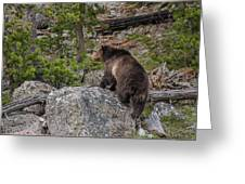 Grizzly Sow In Yellowstone Park Greeting Card