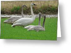 Group Of Young Swans Greeting Card