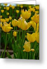 Grouping Of Yellow Tulips Greeting Card