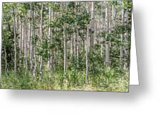 Grove Of Quaking Aspen Aka Quakies Greeting Card
