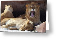 Growling Male Lion In Den With Two Females Greeting Card