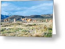 Guanaco In Patagonia Greeting Card