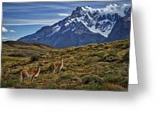 Guanacos In Patagonia Greeting Card