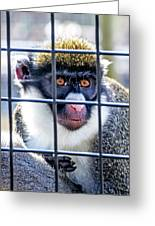 Guenon Monkey Greeting Card