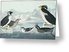 Guillemots And Auks Greeting Card