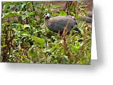 Guineafowl 3 Greeting Card