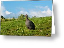 Guineafowl Searching Greeting Card