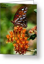 Gulf Fritillary On Butterflyweed Greeting Card