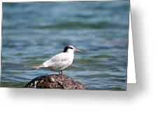 Gull - Lagoa Do Fogo - Azores Greeting Card