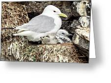 Gull Adult And Chick On Cliff Greeting Card