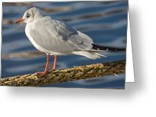 Gull On A Rope Greeting Card
