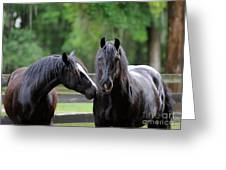 Gypsy Vanner Mares Greeting Card
