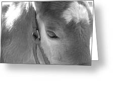 Haflinger Colt Greeting Card