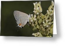 Hairstreak Butterfly Greeting Card
