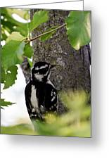 Downy Woodpecker 01 Greeting Card