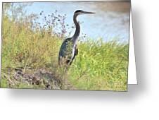 Hank The Blue Heron Greeting Card