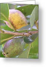 Haole Guava Greeting Card