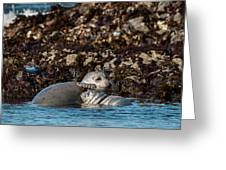 Harbor Seal And Pup Greeting Card