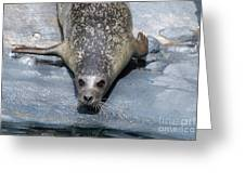 Harbor Seal Ready To Plunge Into The Water Greeting Card
