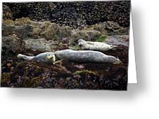 Harbor Seals Basking - Oregon Coast Greeting Card