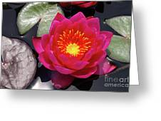 Hardy  Day Water Lily Greeting Card