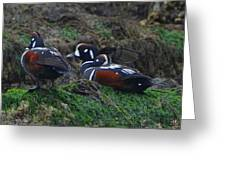 Harlequin Ducks  Greeting Card