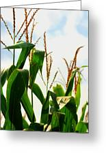 Harvest Corn Stalks Greeting Card