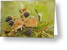 Harvest Mice On Blackberry Greeting Card