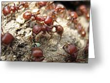 Harvester Ants 1 Greeting Card