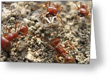 Harvester Ants 3 Greeting Card