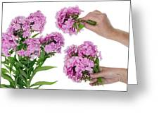 Harvesting Of Pink  Phloxes Greeting Card