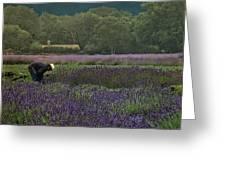 Harvesting The Lavender, Long Island Greeting Card