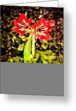 Havana Amaryllis Greeting Card
