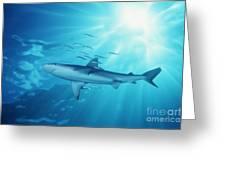 Hawaii Galapagos Shark Greeting Card