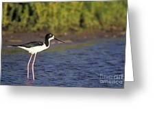 Hawaiian Stilt Bird In Water Greeting Card
