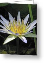 Hawaiian Water Lily 05 - Kauai, Hawaii Greeting Card