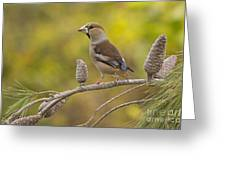 Hawfinch Coccothraustes Coccothraustes Greeting Card