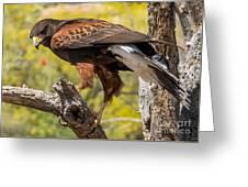 Hawk In A Tree Greeting Card