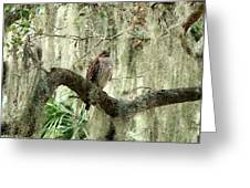 Hawk In Live Oak Hammock Greeting Card