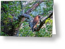 Hawk In Sunlight Greeting Card