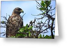 Hawk In The Tree Greeting Card