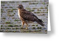 Hawk On A Walk Greeting Card