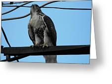 Hawk Urban Hunting Greeting Card