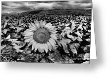 Hdr Sunflower Field. Greeting Card