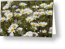 He Loves Me Daisies Greeting Card