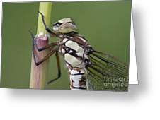 Head Of The Dragonfly Greeting Card