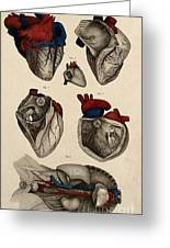 Heart, Anatomical Illustration, 1822 Greeting Card
