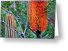 Heath Banksia From Fairfax Walk Greeting Card