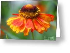 Heavenly Zinnia Greeting Card