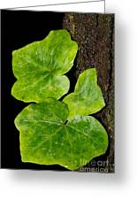 Hedera Greeting Card